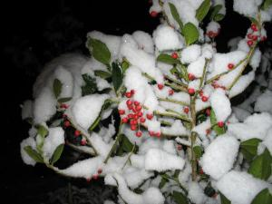 snow-on-the-holly-berries